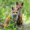 Young Red Foxes