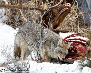 Surviving the Winter-Coyote