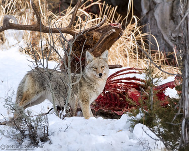 Coyote on an Elk Carcass
