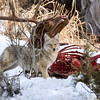 Coyote on and Elk Carcass