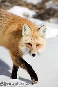 Red Fox in Mid-step