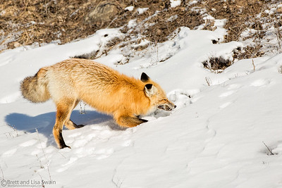 Red Fox With Vole