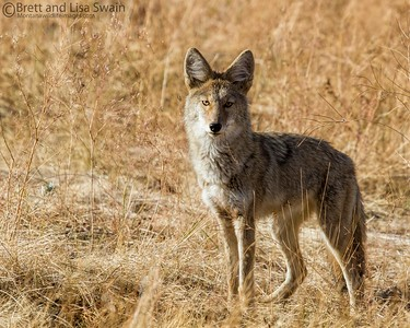 Coyote in the Morning Light