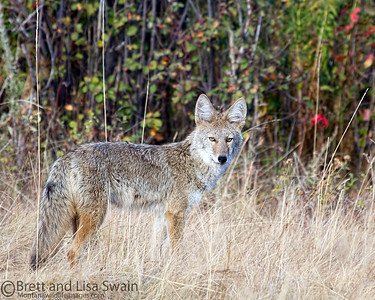 Colorful Coyote
