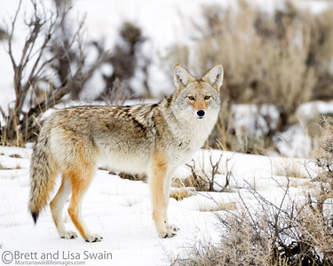 Coyote Snow Profile
