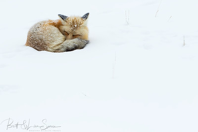 """Red Fox Sleeps""-Yellowstone"