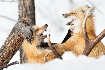 Red Fox Mates Playing