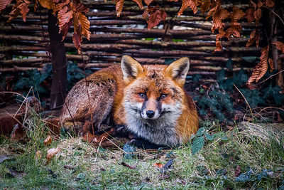 A fox curled up at the bottom of my frosty garden.