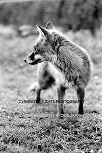 Ahiohill Fox 5-2-1