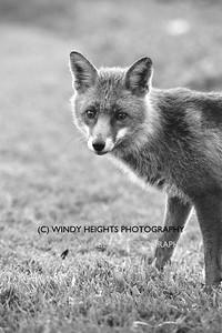 Ahiohill Fox 4-1