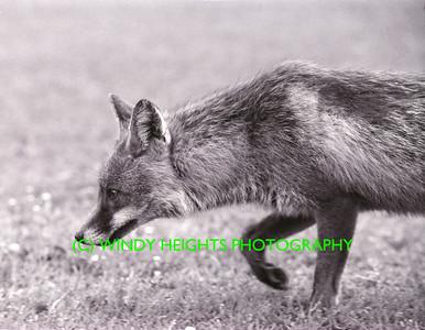 Ahiohill Fox 2-1