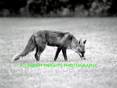 Ahiohill Fox (less grain)-1