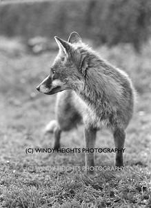 Ahiohill Fox 5 neg23-1
