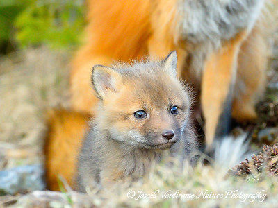 Portrait of a Fox kit