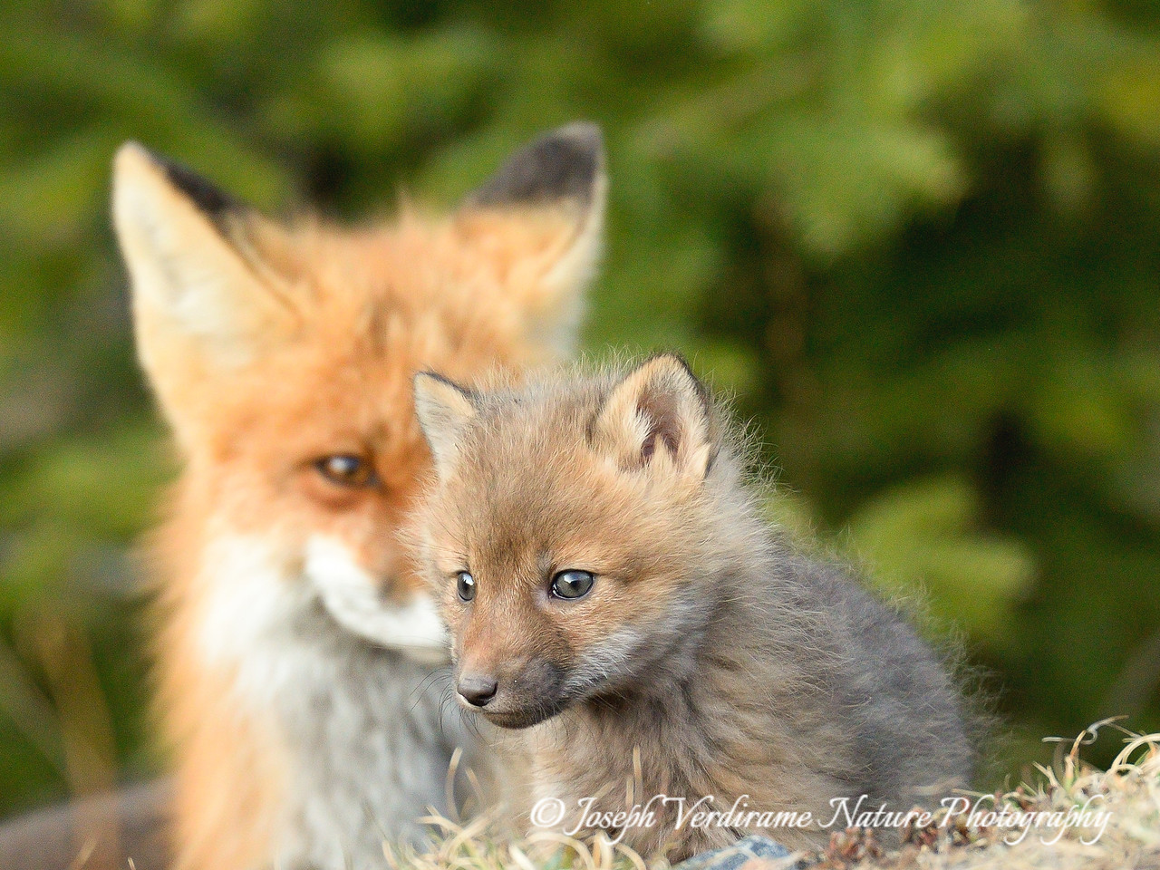 Fox kit with intense gaze