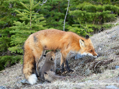 Fox kit seeking mother's milk