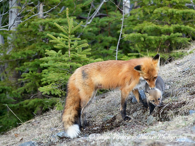 Vixen dotes on her young