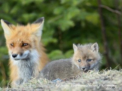 A fox kit surveys the brave new world