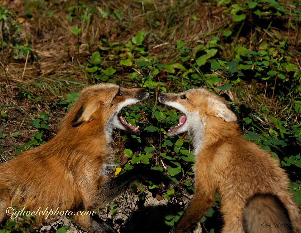 Red Foxes Talking