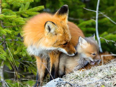 Vixen and young in a tender moment