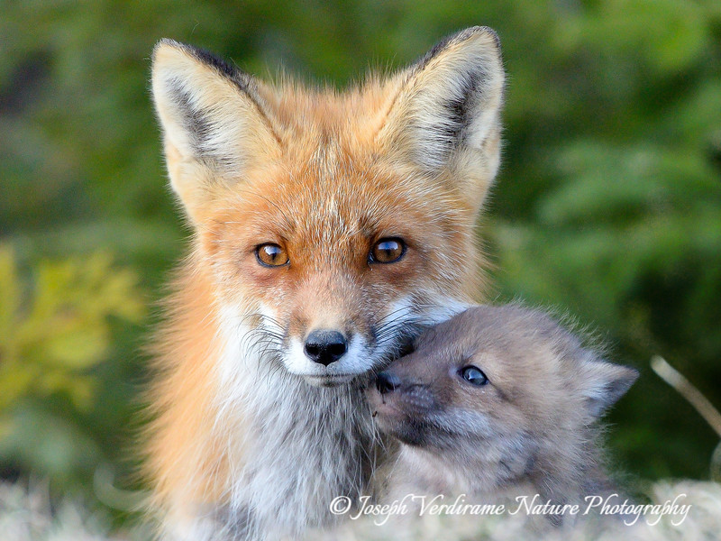 Vixen and kit in a tender moment