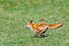 Fox-6