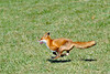 Fox-4