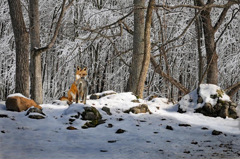 fox-1