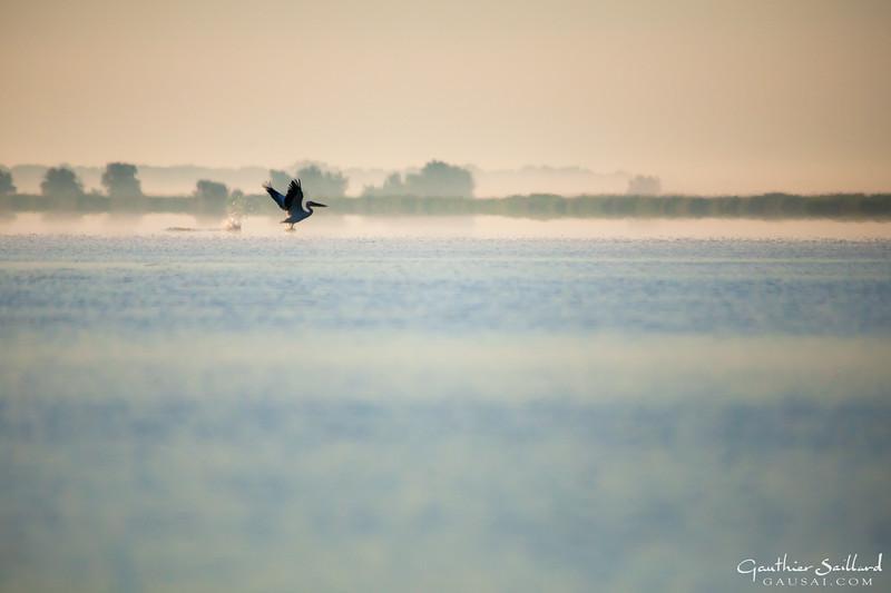 Pelikan im Morgennebel