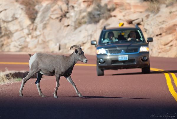 Big Horn Sheep Crossing