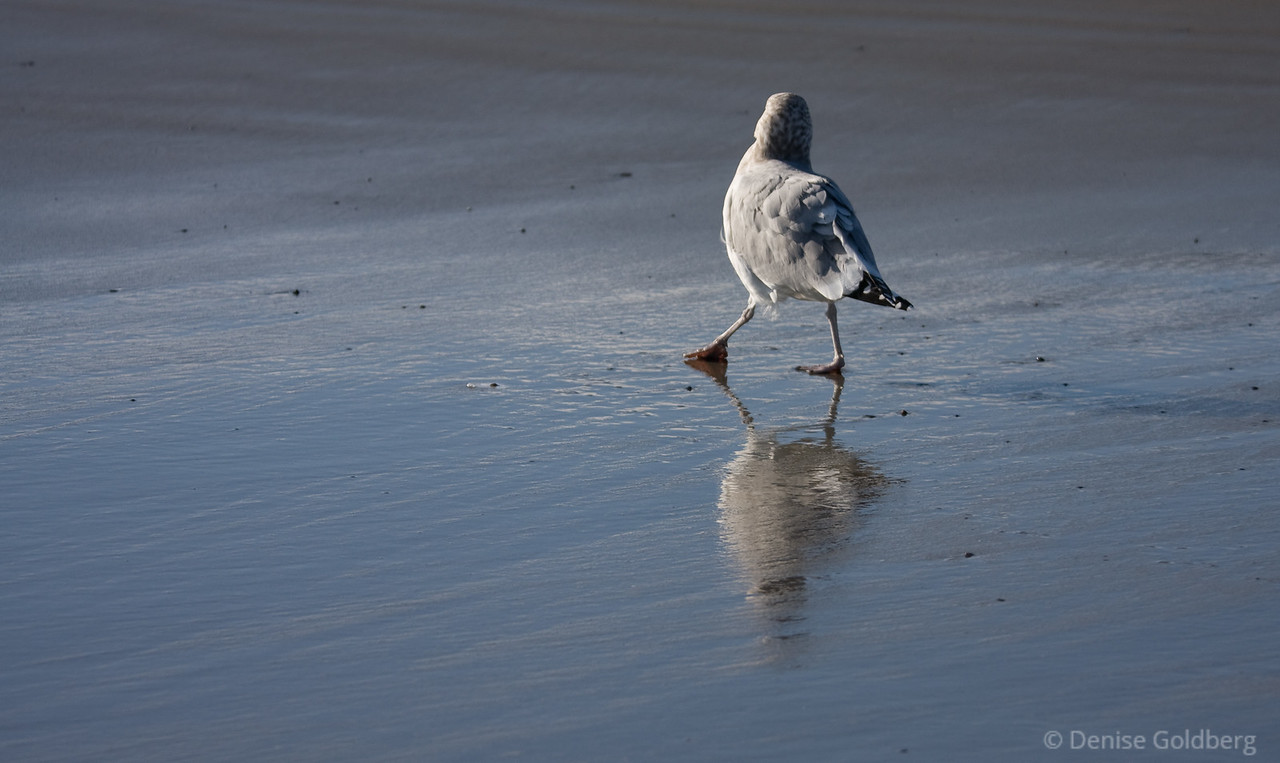 Sea gull walking, icy reflections