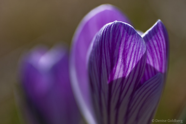 purple and white striped crocus