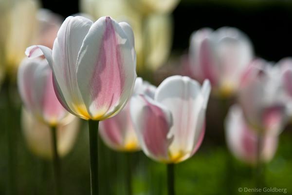 tulips, sunlight shining through petals