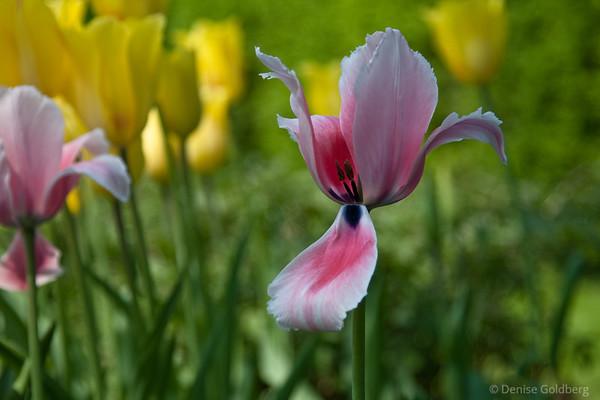 tulips unfolding