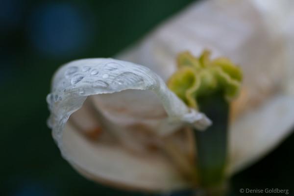 raindrops on flower petals, tulips
