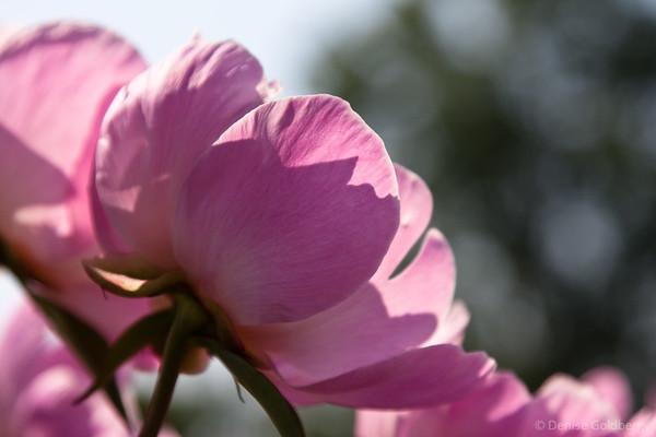 pink, peonies
