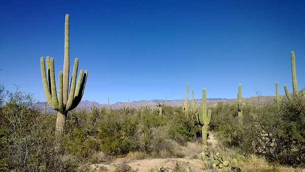 along the Douglas Spring trail, Saguaro National Park