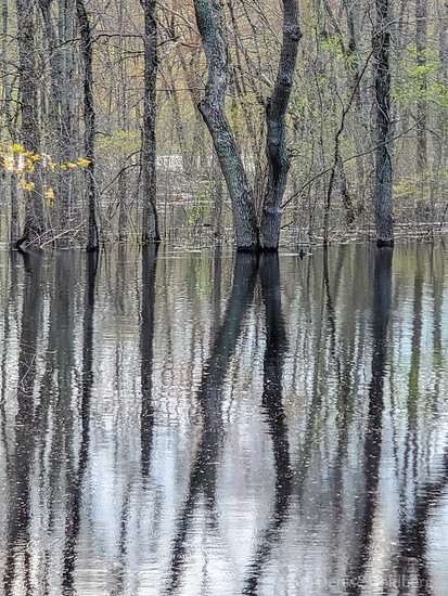 trees reflecting in flooded Ipswich River