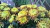 chrysanthemum in bloom at Longwood Gardens