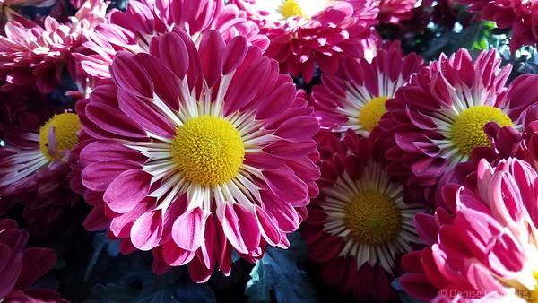 chrysanthemums at Longwood Gardens
