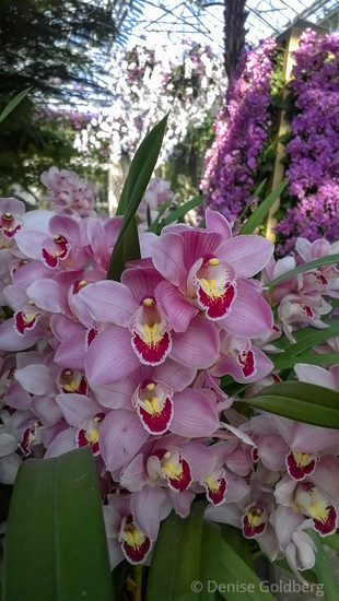 orchids, at Longwood Gardens