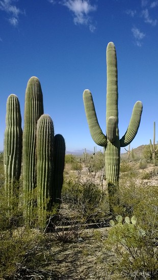 in Saguaro National Park, Tucson, AZ