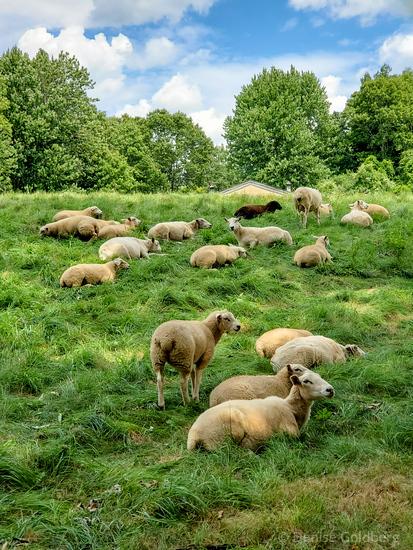 sheep in a field, Topsfield, MA