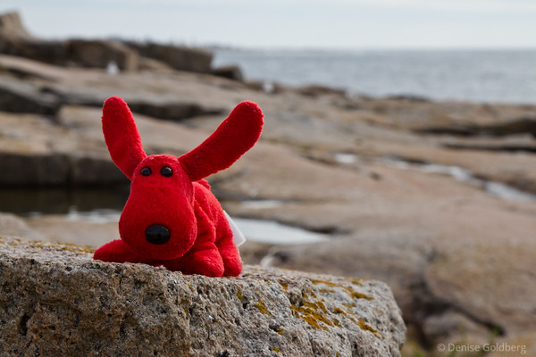 a portrait of Rover on the Schoodic Peninsula
