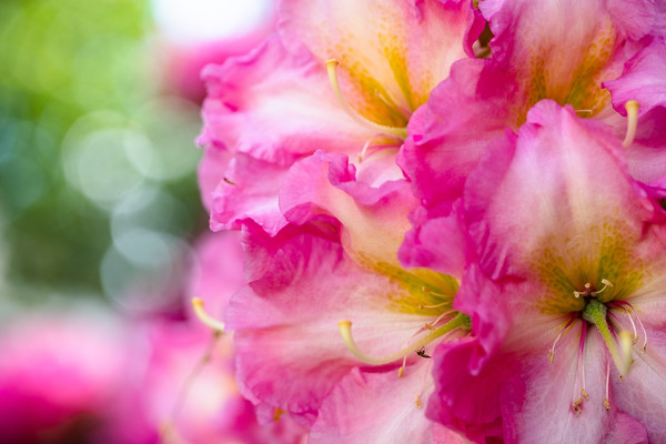 rhododendron in shades of pink