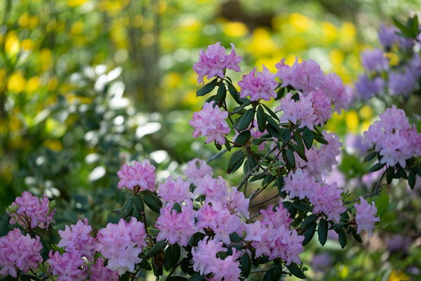 a splash of pink, rhododendron