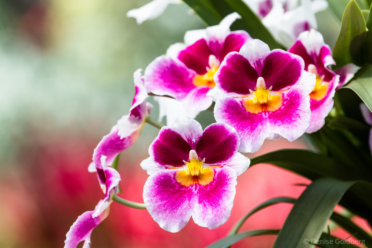 orchids in bright pink and yellow