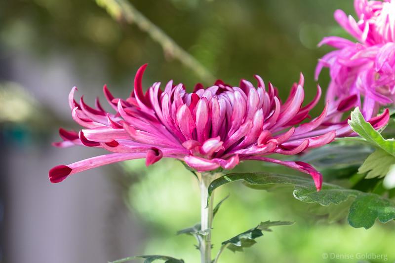 chrysanthemum in bright pink