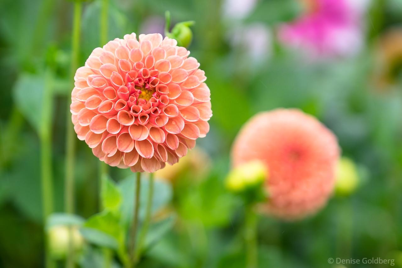 curled petals