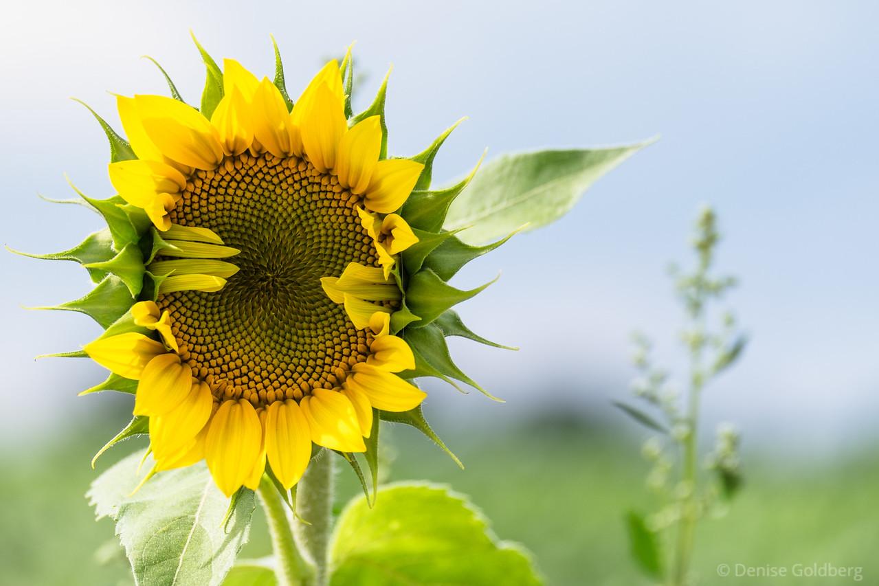 sunflower greeting